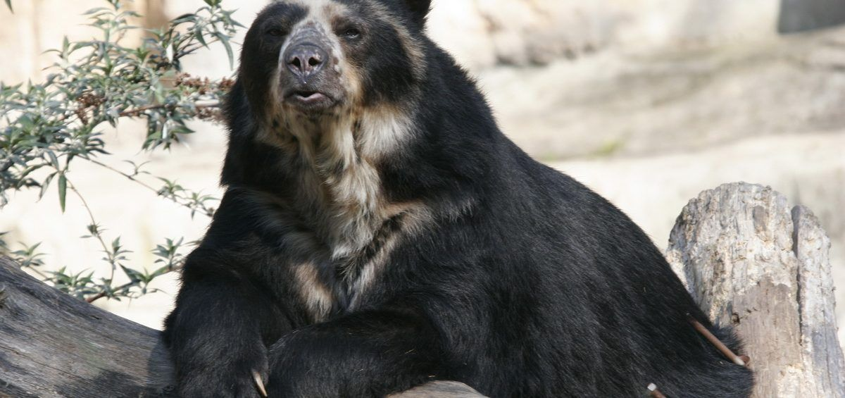 Oso frontino: especie única en peligro de extinción