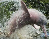 La tonina del Orinoco es el cétaceo de agua más grande del mundo