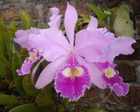 Inigualable, femenina y abundante es la flor nacional