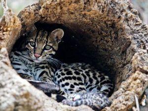 Nacen primeros pumas en cautiverio en Venezuela