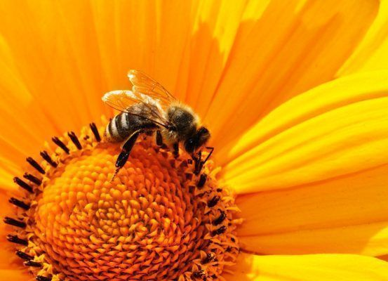 Las abejas son clave para la diversidad alimentaria