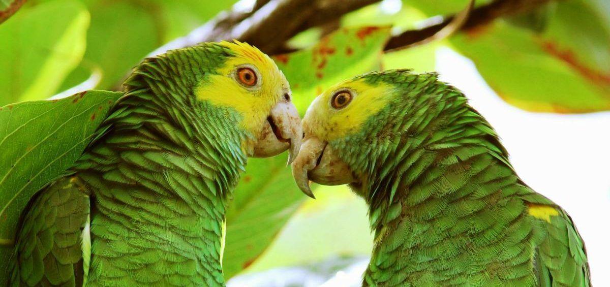 Venezolanos traen buenas noticias para la cotorra margariteña