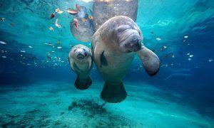 El hogar del manatí amazónico está en riesgo