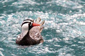 La vida en contracorriente del Pato de torrentes