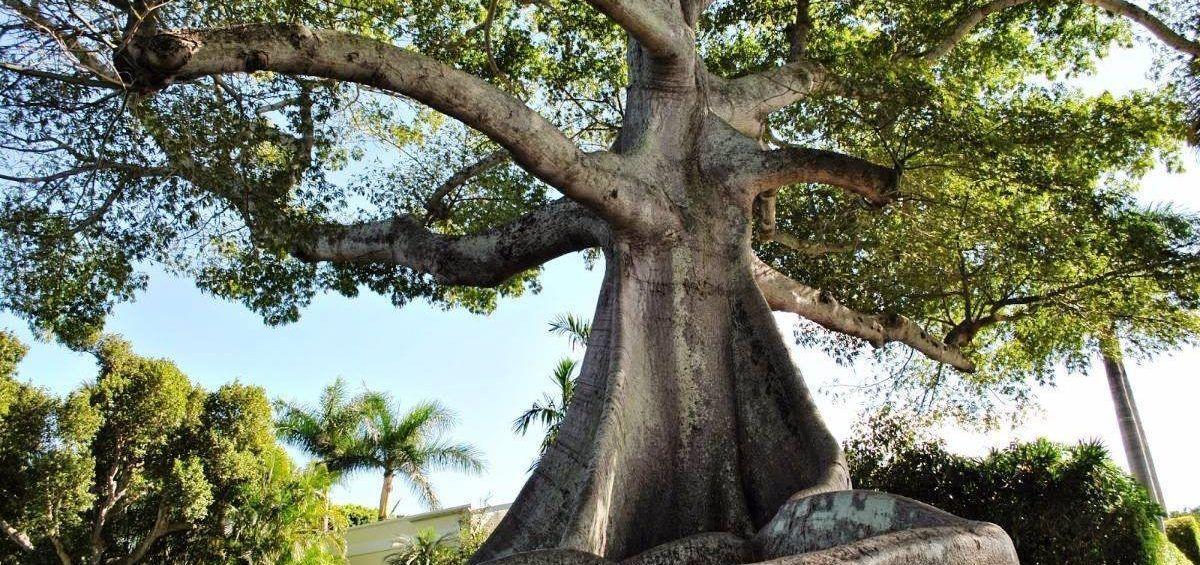 La majestuosa y longeva Ceiba es patrimonio natural de Venezuela