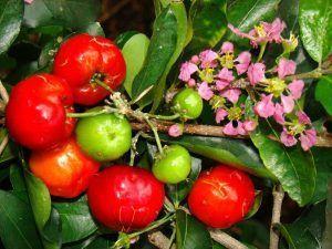 Semeruco o cerecita, una fruta sabrosa, nutritiva y nuestra