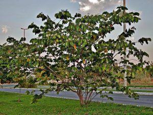 La guama, una fruta venezolana rica en propiedades