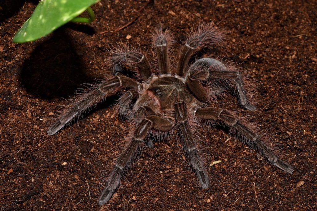 Goliath, la araña más grande del mundo, vive en Venezuela