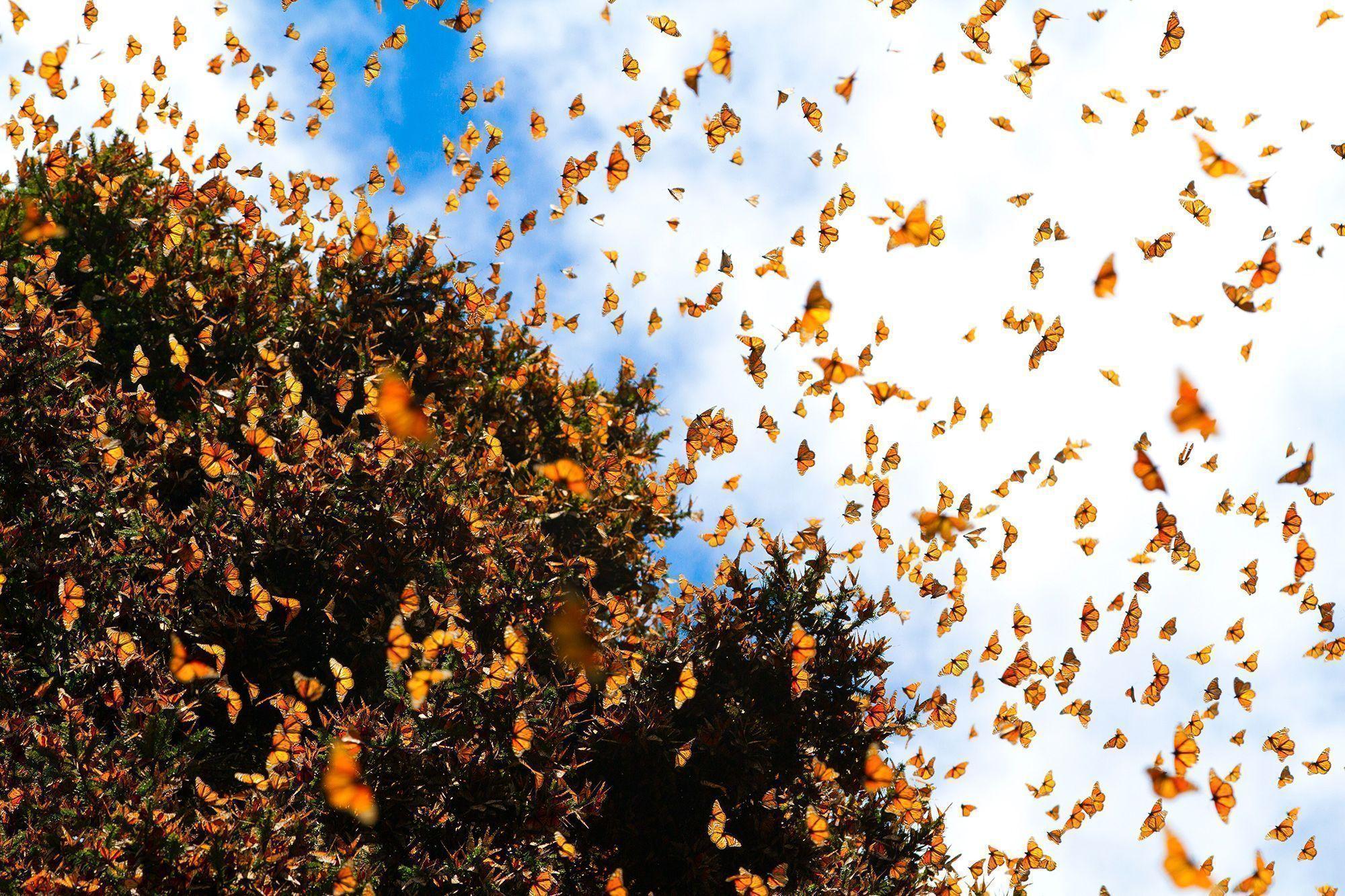 Está riesgo migración de la mariposa Monarca