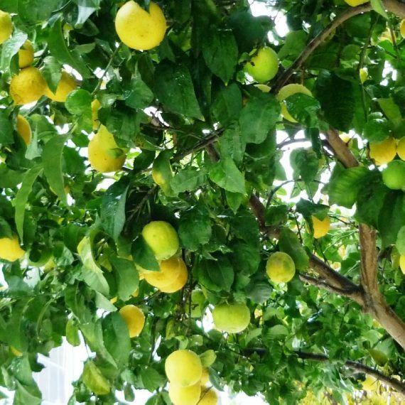 El limonero del Señor