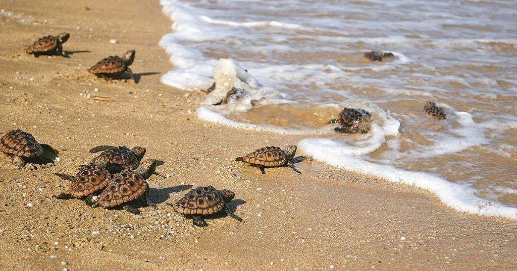 Tortugas marinas, milenarias pero vulnerables