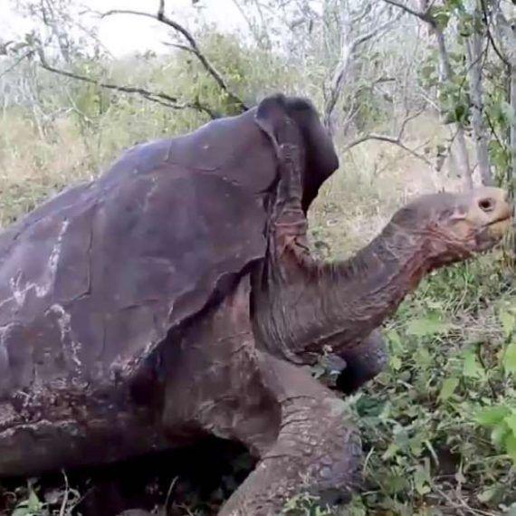 Diego la tortuga gigante que rescató a toda su especie