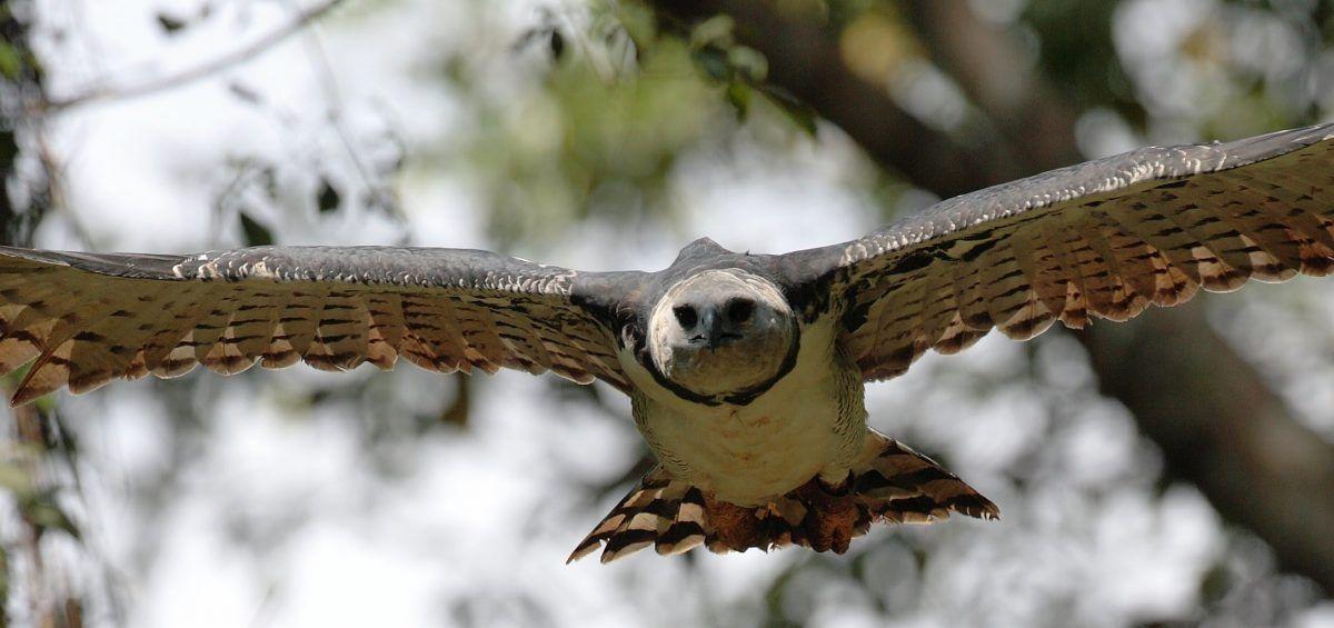 El águila arpía, majestuosidad y garra