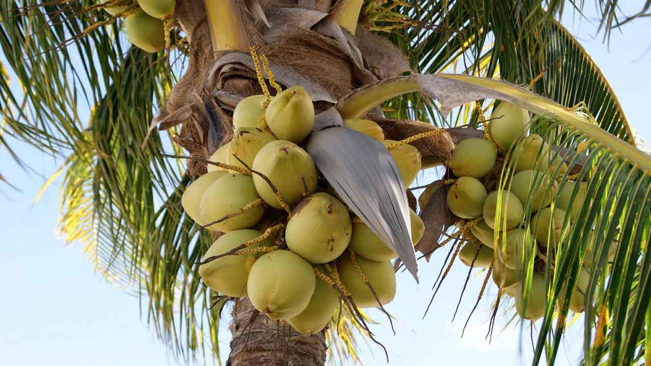 Cocotero, el árbol del cielo