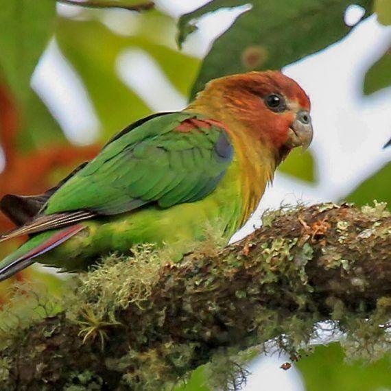 El ave de múltiples tonos, el Perico Multicolor