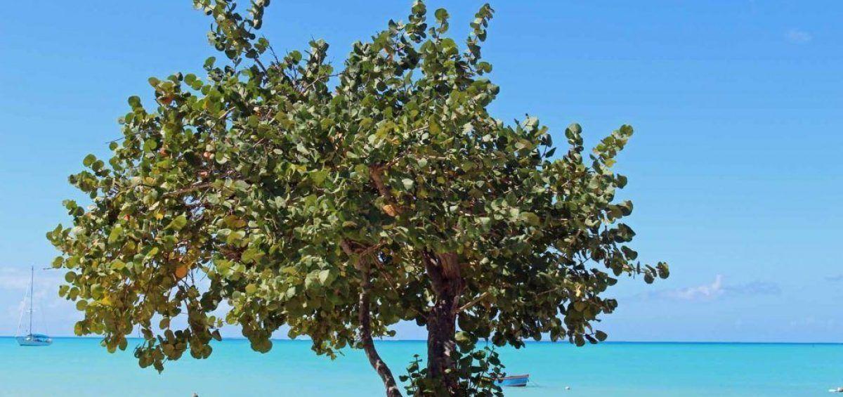 Uva de Playa, manjar de los guaireños