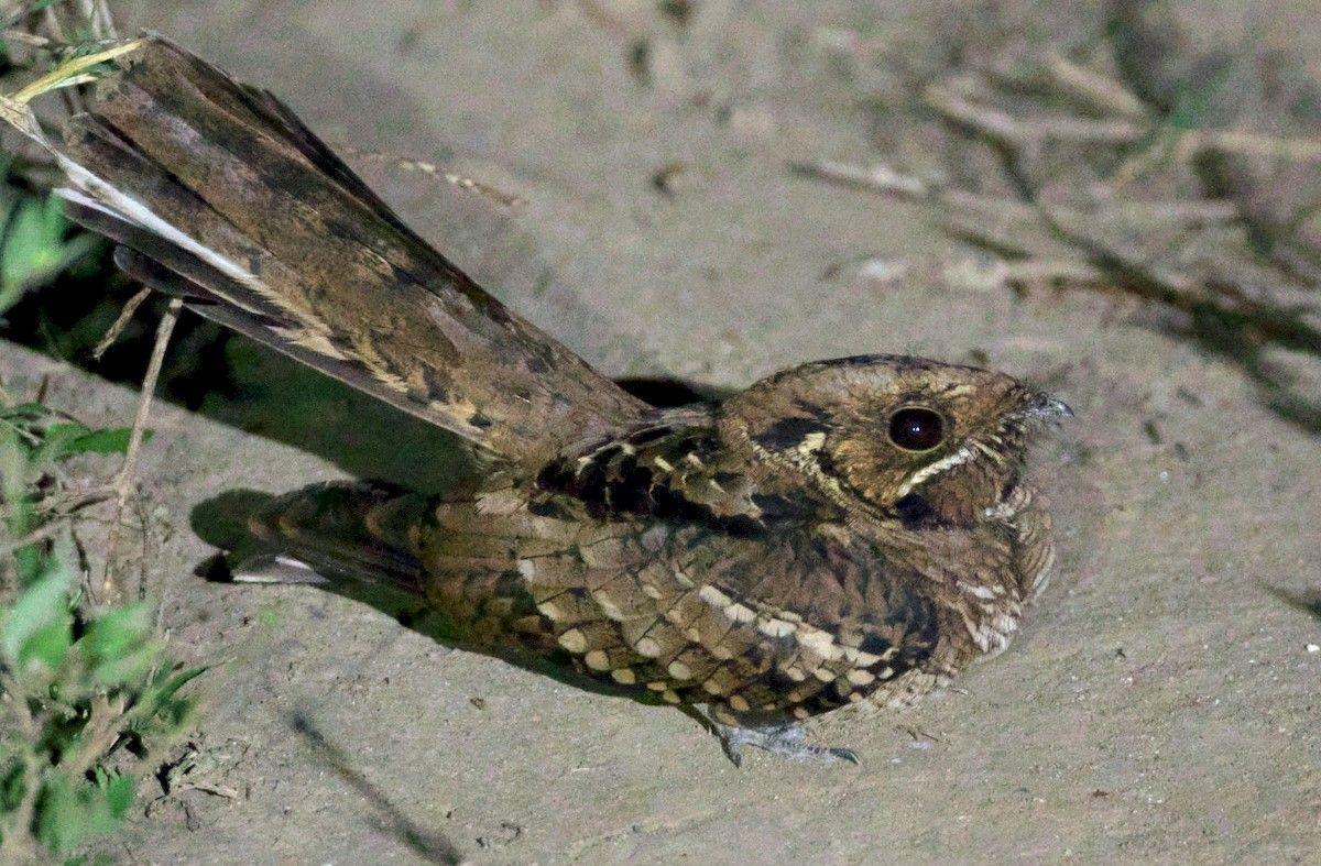 El Aguaitacamino, un pájaro envuelto en un halo de misterio