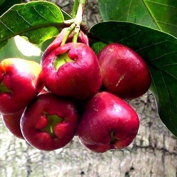 El refrescante acidito de la pomagás o pomalaca