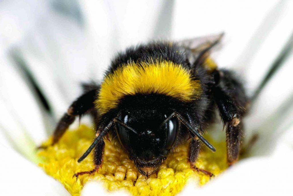 Los abejorros hacen piquetes las plantas para que florezcan antes