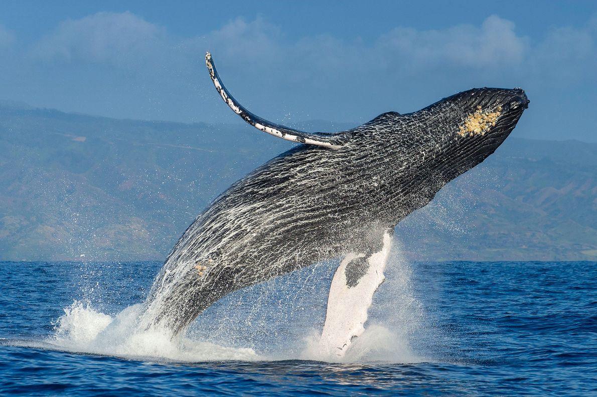 El enigmático carisma de las ballenas jorobadas