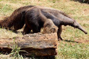 El oso hormiguero gigante está en riesgo
