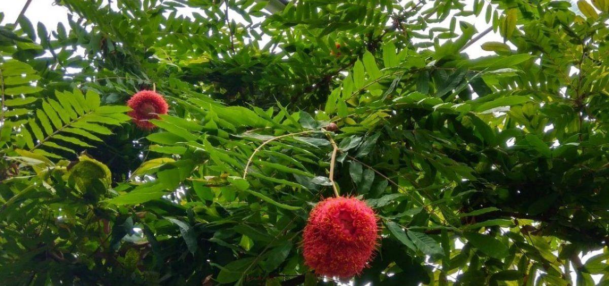 Rosa de Montaña, árbol de llamativas flores