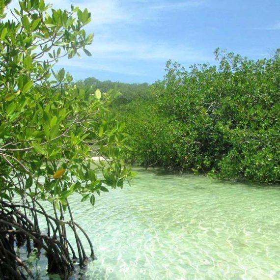 Los manglares pueden desaparecer en 2050 por aumento del nivel del mar