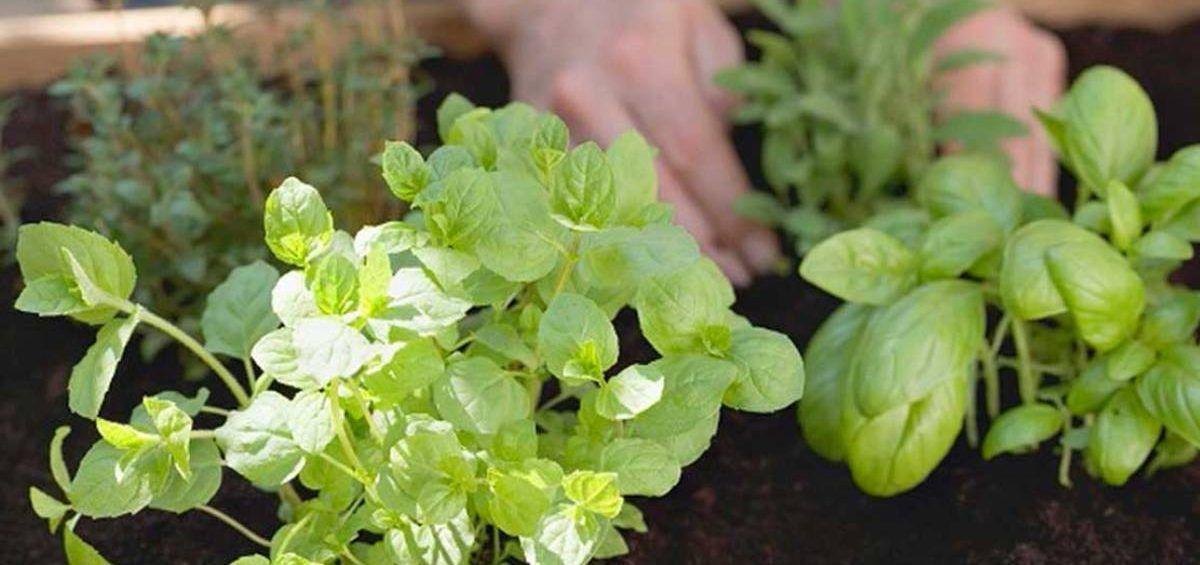 Cultivar plantas medicinales en casa