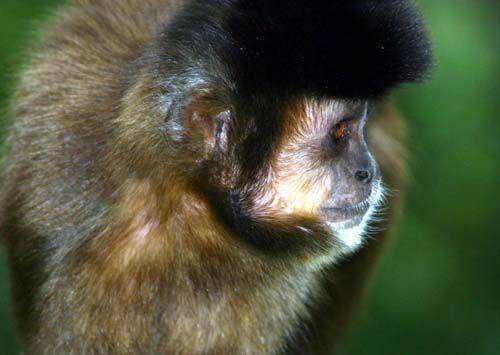Evitemos la extinción del mono margariteño