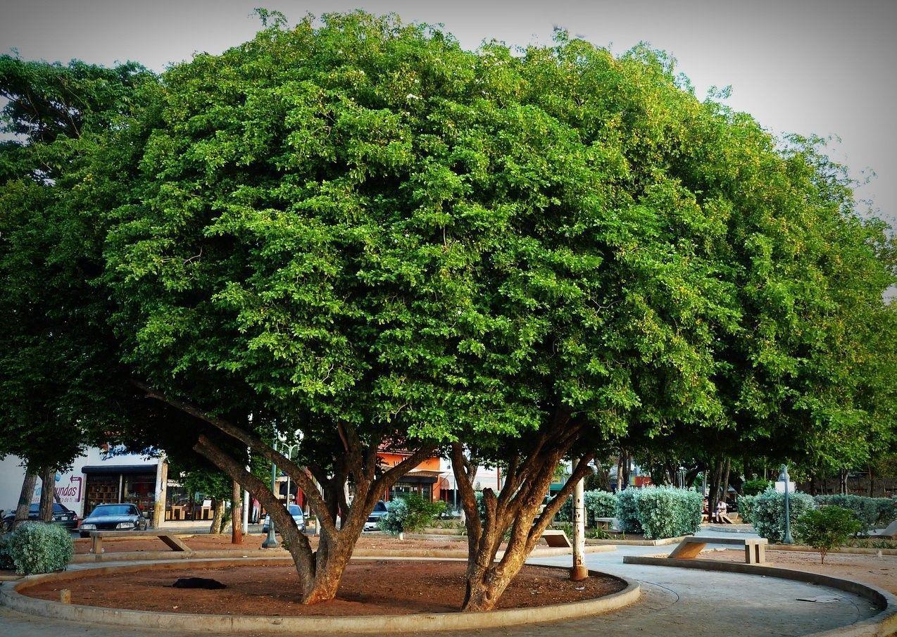 El Guayacán siempre luce vestido de verde
