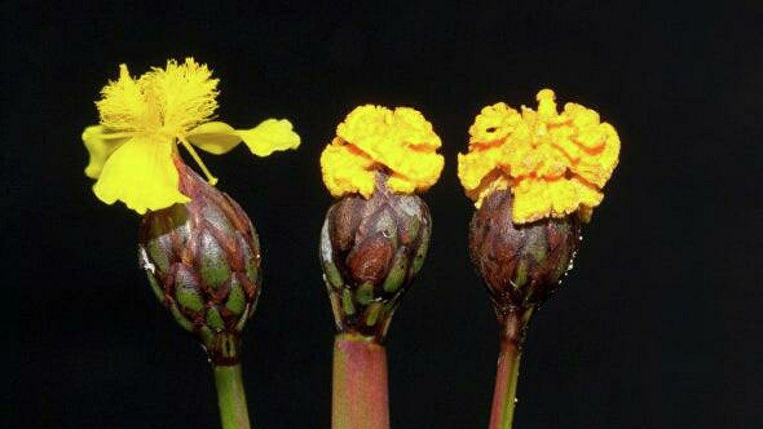 El hongo que imita una flor para atraer a los insectos y reproducirse