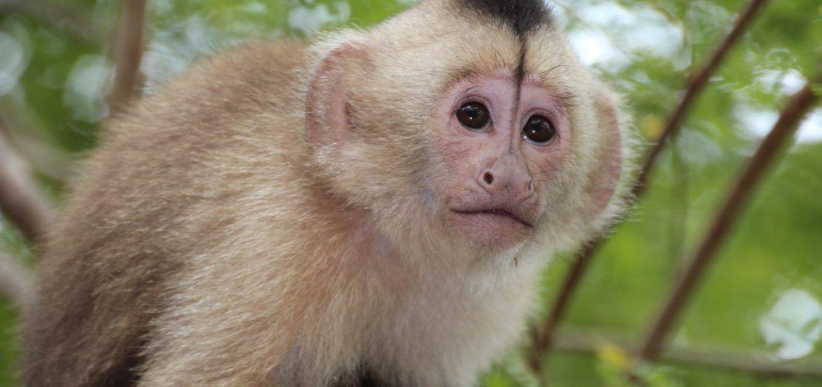 Venezuela está a punto de perder a su endémico mono margariteño