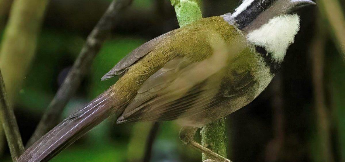 Corbaticos avileño y de Paria, vulnerables aves endémicas