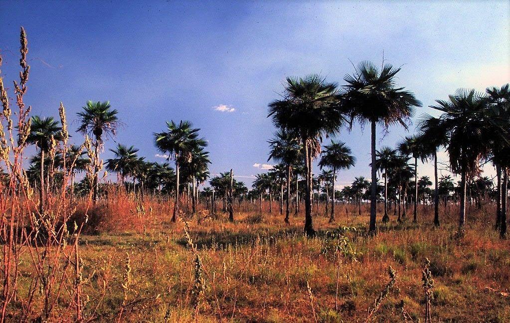 La Palma Llanera, una especie indomable