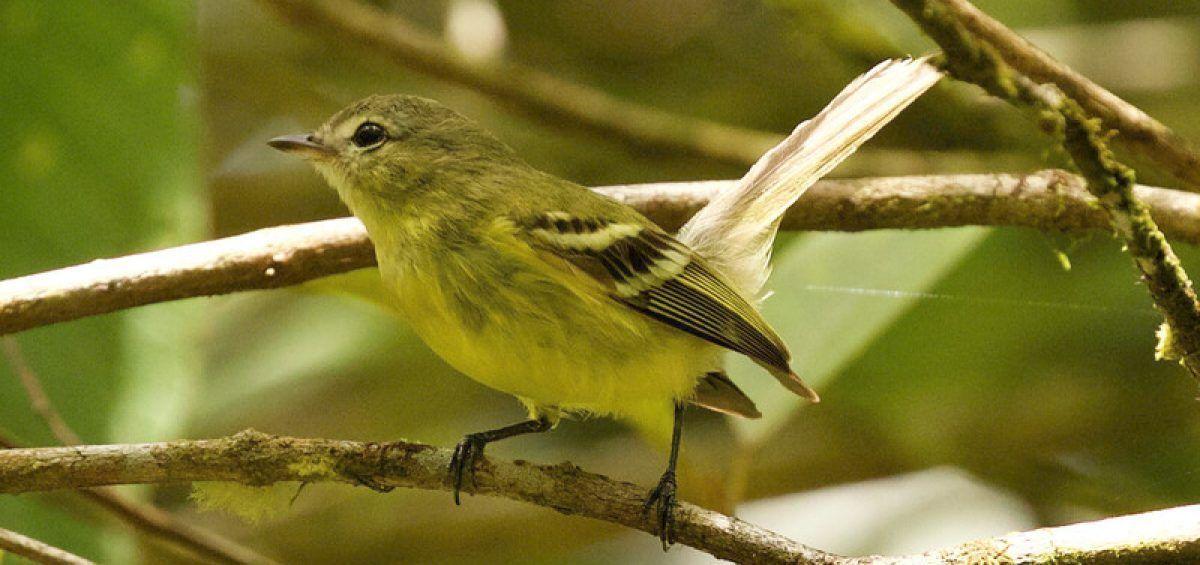 Mosquerito de Paria, un ave endémica poco conocida