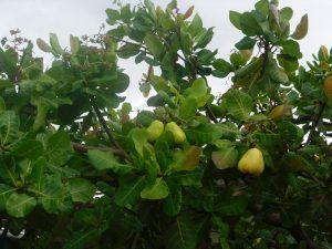 El merey es mucho más que un fruto seco