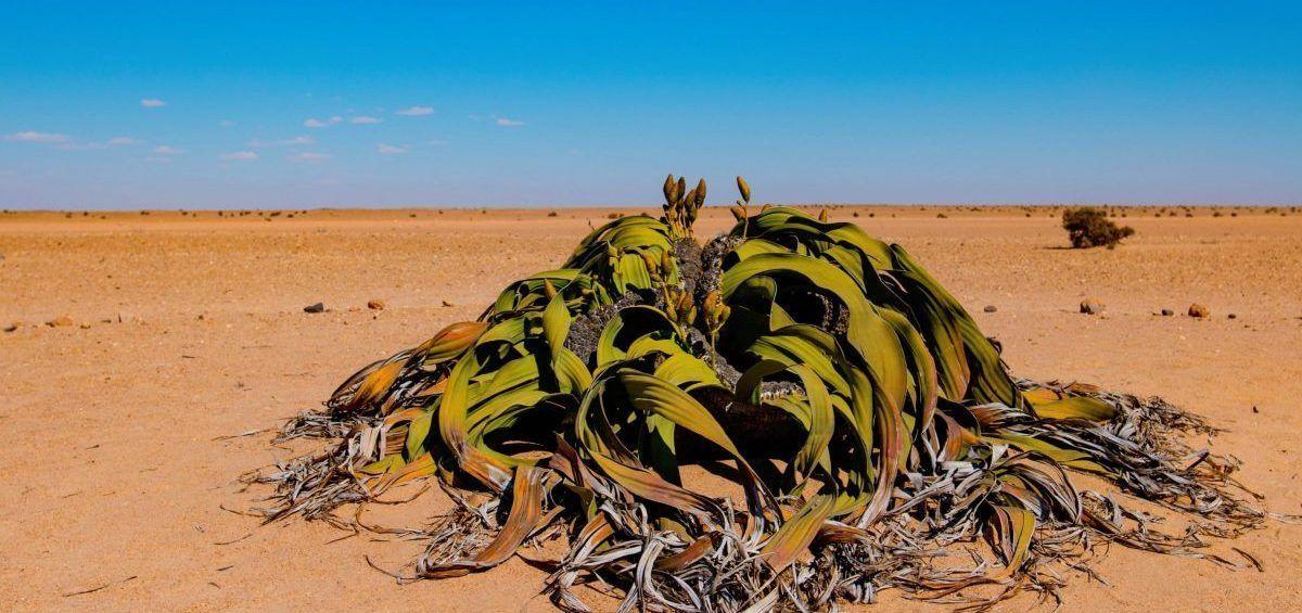 Estudio de planta inmortal ayudaría a desarrollar cultivos más resistentes